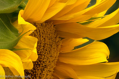 Sign that Summer's about to End (OJeffrey Photography) Tags: colorado co flowers blossom sunflower outdoors macro closeup ojeffrey ojeffreyphotography nikon d800