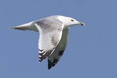 Caspian gull / Larus cachinnans / Pontische meeuw 3cy (Herman Bouman) Tags: caspiangull laruscachinnans pontischemeeuw 3cy