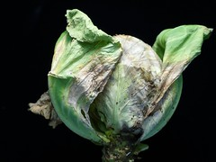 Cabbage: Black rot (Scot Nelson) Tags: cabbage black rot xanthomonascampestrispvcampestris xcc bacterial bacterium bacteria crucifer
