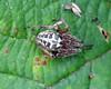 Larinioides cornutus ? (erdragonfly) Tags: id larinioidescornutus