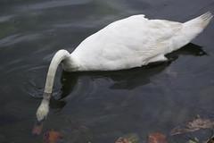 Swan in the lake (tim_asato) Tags: timasato canaryislands islascanarias travels viajes fauna swan cisne undewater bajoelagua bird pajaro white blanco naturaleza nature natura