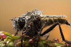 Bathed in Dew (Artur Rydzewski) Tags: insect macro extrememacro dew water fly bathedindew makro rosa drop drops krople ngc
