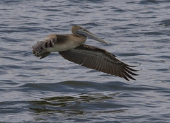 Brown Pelican (AllHarts) Tags: brownpelican gulfofmexico mississippigulf us90 longbeachms naturescarousel