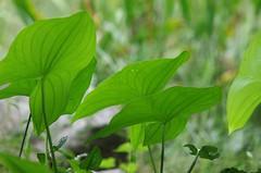 Arrowhead Plant (bamboosage) Tags: smc pentaxk 200 25