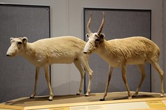 Saiga Antelope (demeeschter) Tags: canada yukon territory whitehorse beringia interpretive centre museum heritage archaeology palaeonthology history attraction science