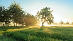 The Awakening (Michael Angelo 77) Tags: mist twente cows outdoors sunrise lightrays tree grass morningdew fog countryside