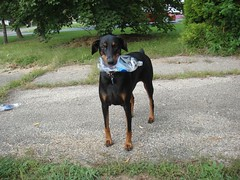 1474719840_2016_Sep_24_08-24-00_waterbottle077 (yclept8) Tags: doberman julie