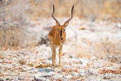 DSC_3817.JPG (manuel.schellenberg) Tags: namibia animal etosha nationalpark impala blacknosedimpala