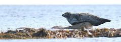 Common Seal (ReevesWild) Tags: seal mammal mar marinemammal commonseal kelp rock arran scotland isleofarran wildlife nature wildlifephotography naturephotography kildonan