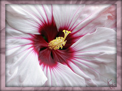 Hardy Hibiscus (Koko Nut, it's all about the frame) Tags: hibiscus hibiscusmoscheutos white pink red yellow centre macro hardy hardyhibiscus frilly giant garden summer sunshine frame framedflower flower koko kokonut wonder hibiscuswonder
