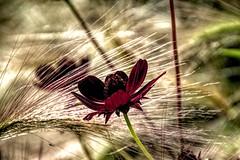 Field of Dreams (Jon_Wales) Tags: flower aberglasney carmarthenshire wales welsh cymru gardens autumn flowering focus depth field