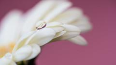 DSC_6983 (gitte123) Tags: refraction flower pink macro pastel reflection drop