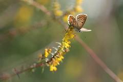 Raffreddata di settembre. (SimonaPolp) Tags: butterfly farfalla bug insetto animal nature natura fall autunno yellow giallo bokeh soffaino flowers fiori wings ali