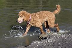 2720 (Jean Arf) Tags: ellison park dogpark rochester ny newyork september autumn fall 2016 poodle dog standardpoodle gladys wet water pond