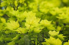 Spring leaves 265-365 (*Jilltoo) Tags: newzealand green leaves lensbaby spring maple fresh acer nz dunedin lensbabyedge80