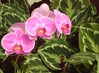 Orchids and leaves. (rps.net) Tags: flowers brazil orchids greenhouse santos orchidarium