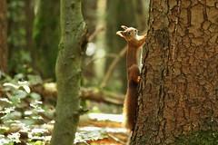 Eine kleine Geschichte... (Sebastian.Schneider) Tags: autumn tree fall animal forest climb squirrel hessen herbst climbing wald baum tier eichhörnchen klettern ldk haiger lahndillkreis lahndill