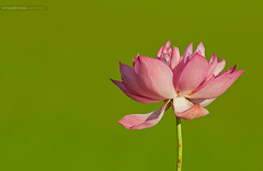 Sacred Lotus (Sandeep Somasekharan) Tags: pink india flower rose petals lotus bokeh sandy sacred 300mmf4 nationalflower nelumbo nucifera d300s sandeepsomasekharan sandyclix