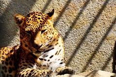 Leopard (mynikfoto) Tags: animals nikon tiger leopard malaysia hunter jaguar mammals melaka tigres d90 18105mm