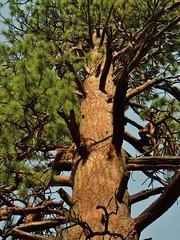 Big O' Ponderosa Pine (Powskichic of Bend) Tags: park autumn trees orange color fall leaves yellow pine centraloregon river october falling aspens ponderosa turning 2012 shevlin tumalo createbeauty powskichicofbend brendareidirwin