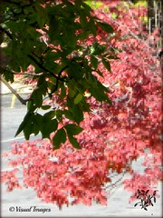 TAKEN BEFORE THE LEAVES FELL DOWN (Visual Images1 (Thanks for 4 million views)) Tags: pink trees green leaves 6ws pixels picmonkey