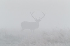 Red deer stag (Steven Whitehead) Tags: park morning wild sun heron misty fog sunrise canon wildlife earlymorning deer fallowdeer webbs reddeer 2012 stags bushypark greyheron bushy rutting spiderswebb canon1dx