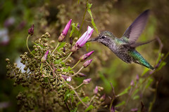 Hummingbird (MatthiasMM) Tags: