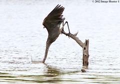 Great Blue Heron - Bayou Courtableau, Louisiana (Image Hunter 1) Tags: tree nature water birds wings louisiana waves branch feeding feathers bayou swamp marsh ripples greatblueheron plunge canoneos7d birdslouisiana bayoucourtableau