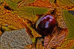 Autumn Colors (HDR) (MEK40 (Fotodesign M. Heimann)) Tags: wood autumn orange brown oktober color detail nature colors canon deutschland eos photo october maroon details hamburg herbst natur chestnuts braun tamron blatt wald bltter farbe hdr 2012 farben kastanien 60d flickraward tamron18270