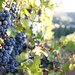 2012 Garden Creek Cabernet Harvest 0006