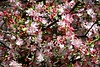 2012: Flowering Plum, Canberra #56 (dominotic) Tags: pink flower tree nature landscape blossom australia canberra act floweringplum australiancapitalterritory prunusmume september2012