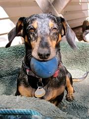 ready. (Black Cat Bazaar) Tags: california ca dog ball backyard sunny dachshund chico fetch openstudiostour