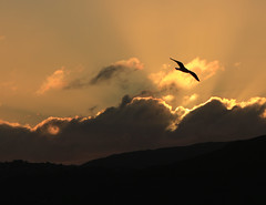 The golden seagull (Flimin) Tags: sunset beach canon seagull wellington petone bigmomma 650d eos650d agcgwinner herowinner agcgmegachallengewinner mygearandmebronze mygearandmesilver gamesweepwinner pregameduelwinner