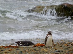 Magellanic penguin couple (Germn Vogel) Tags: chile bird beach latinamerica southamerica animal fauna penguin couple shoreline shore magallanes otway magellanic senootway