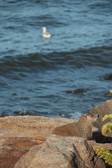 Gull & Groundhog (42/52) (aka Buddy) Tags: fall canon eos rebel newjersey rocks seagull gull nj og groundhog monmouthcounty atlantichighlands 2012 week42 sandyhookbay henryhudsontrail 550d t2i efs18135mmf3556is 522012 52weeksthe2012edition weekofoctober14