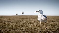 natural border patrol (cp991) Tags: seagulls nature birds nikon wildlife gulls horizon coastal coastline borderpatrol borders seabirds foreshore headland watchfulness hastingspoint cameronpitcherphotography cp991