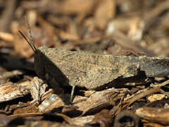 Grasshopper with perfect camouflage (siamesepuppy) Tags: california macro canon bug insect critter grasshopper arthropoda invertebrate arthropod g12 dcr250 raynox