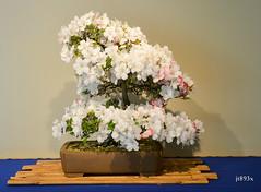 Azalea Uyo-no-tsuki (jt893x) Tags: flowers nikon bonsai azalea 18105mm d7000