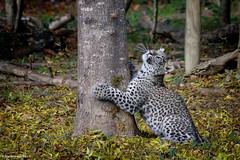Mom is up there (AlexandreJoffroy) Tags: life wild nature animal fauna canon eos zoo feline po panther 2012 flin 550d joffroy portfoliofauna