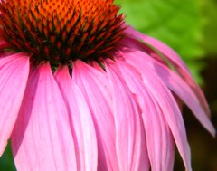Where there is no struggle, there is no strength. (careth@2012) Tags: coneflower beautifulearth amazingnature this1 perfectpetals passionforflowers unforgettableflowers weloveallflowers thebestofweloveallflowers livingjewelsofnature niceasitgets suzysflowersgallery niceasitgetsl2