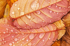 Fallen chestnut leaves (NikonDigifan) Tags: autumn fall leaves colorful spokane raindrops manitopark colorfulleaves colorefexpro niksoftware nikond300 mikegassphotography
