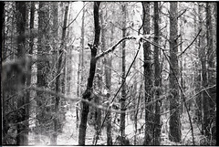 (despite our differences) Tags: trees blackandwhite bw film nature netherlands contrast analog forest 35mm landscape moss olympus ilford om2 drentsfriesewold