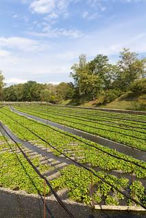 DAIO Wasabi Farm (Azumino, Nagano, Japan)