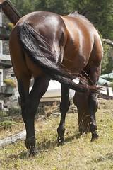 Horse ... back horse ^_^ (oizys) Tags: horses horse mountain animal animals montagna cavalli cavallo animali animale racehorse wildhorse valtournenche champleve