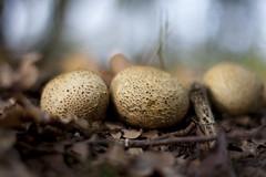 Eggs? (Djenzen) Tags: mushroom canon jeroen jansen paddestoel 40d djenzen