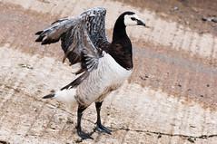 Canada goose (pstani) Tags: uk england bird yorkshire goose canadagoose brantacanadensis bridlington nikond90