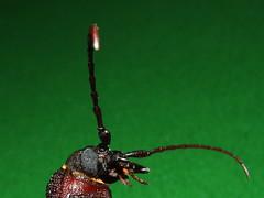 Cerambycidae Prioninae>Eurynassa australis Wattle Root Longicorn DSCF2956 (Bill & Mark Bell) Tags: exmouth westernaustralia australia geo:town=exmouth geo:state=westernaustralia geo:country=australia geo:lon=11425453egeolat2217752sgeoalt8m 11425453e2217752salt8m taxonomy:kingdom=animalia animalia taxonomy:phylum=arthropoda arthropoda taxonomy:class=insecta insecta taxonomy:order=coleoptera coleoptera taxonomy:family=cerambycidae cerambycidae taxonomy:genus=eurynassa eurynassa taxonomybinomialnameeurynassaaustralis eurynassaaustralis taxonomycommonnamewattlerootlongicorn wattlerootlongicorn australis insect animal fauna taxonomy:subfamily=prioninae prioninae beetle
