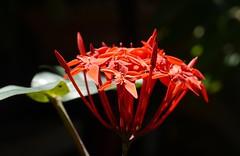 Jungle flame  .  .  .  Explored! (ericrstoner) Tags: flower amazon flor pará ixora santarem rubiaceae alterdochão ixoracoccinea jungleflame
