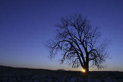 Winter Cottonwood (Matt Thalman - Valley Man Photography) Tags: winter sunset tree silhouette cottonwood northdakota sunburst sheyennenationalgrassland