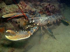 Homarus gammarus (Centro Sub Monte Conero) Tags: mar mediterraneo mare centro muck conero numana nord sabbia adriatico ancona astice sirolo homarus gammarus benthos crostaceo